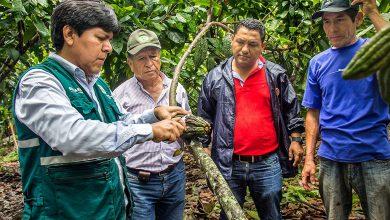 Técnicos de SENASA del Gobierno Local y Agencia Agraria Inspeccionaron Parcelas de Cacao