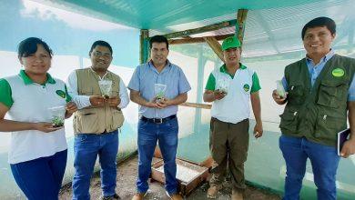 Por primera vez en la provincia La Convención se viene implementado la tecnología in vitro para el cultivo del plátano